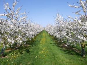 cherry-trees-1567310_1280